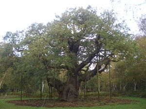 330px-Major_Oak